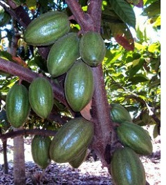 Green Cocoa pods growing in Tanzania