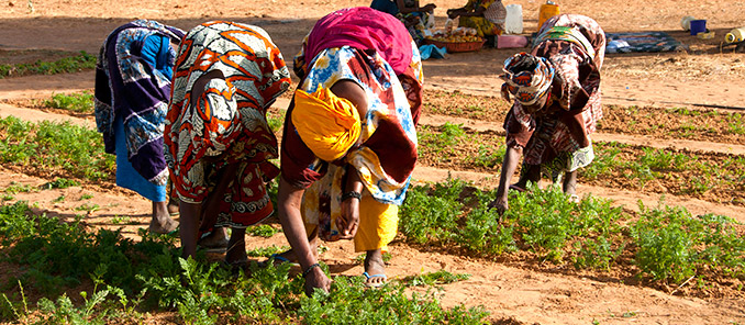 Women Picking Tomatoes, in Widou Thingily, Northern Senegal, where the Great Green Wall is helping to reduce the risk of desertification. WFP/Jenny Matthews