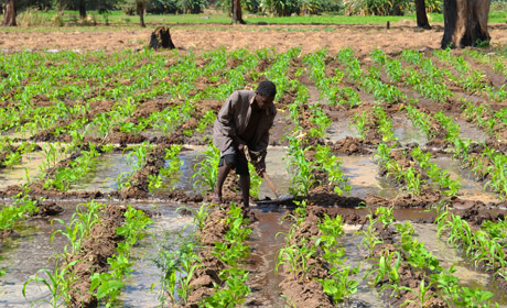 A farmer working on one of the ECRP funded irrigated fields in Dezda district, Malawi